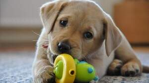 2497_labrador_retriever